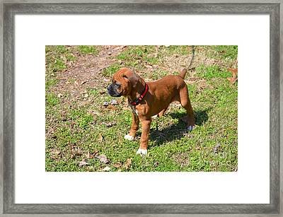 Boxer Puppy 2 Framed Print by Maria Urso