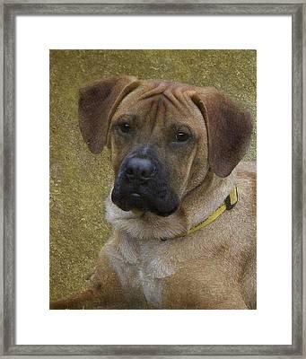 Boxer Puppy Framed Print by Karen Morang
