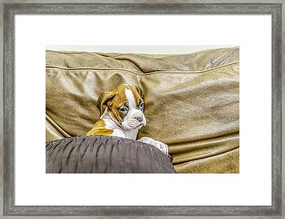 Boxer Puppy On Couch Framed Print by Tony Moran