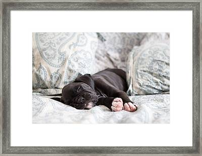 Boxer Puppy Sleeping Framed Print by Stephanie McDowell