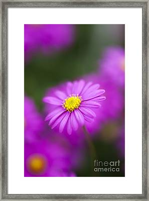 Swan River Daisy Framed Print by Tim Gainey