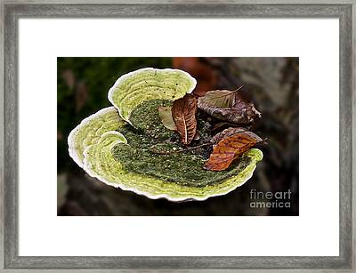 Bracket Fungi  Framed Print