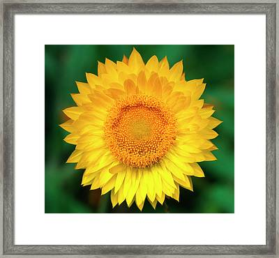 Bracteantha Flower Abstract Framed Print by Nigel Downer