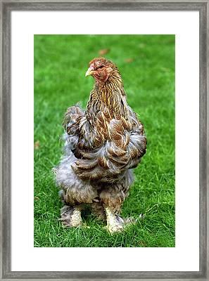 Brahma Chicken Framed Print
