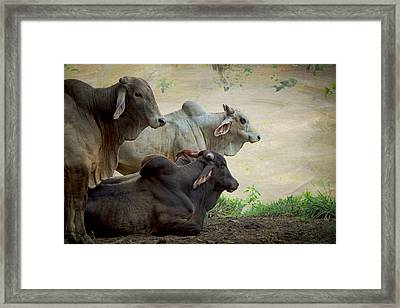Brahman Cattle Framed Print