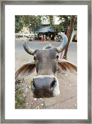Brahman Cow In Ahmedabad Framed Print by Ashley Cooper