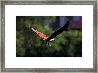 Brahminy Kite With Catch  Framed Print