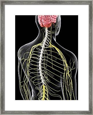 Brain And Nervous System Framed Print