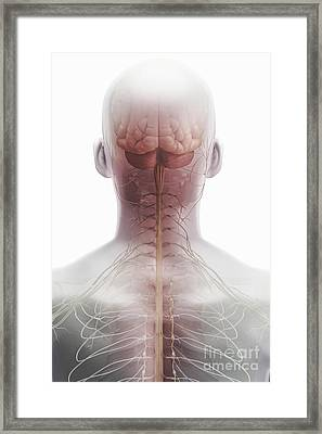 Brain And Spinal Cord Framed Print