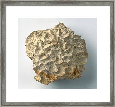 Brain Coral Fossil Framed Print by Dorling Kindersley/uig