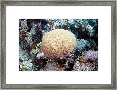 Brain Coral Framed Print by Michael Szoenyi