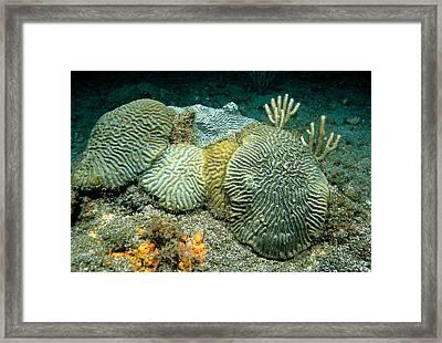 Brain Corals, Grenada, Caribbean Framed Print by Andrew J. Martinez