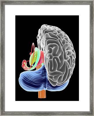 Brain Section Framed Print