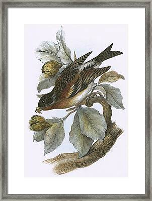 Brambling Framed Print by English School