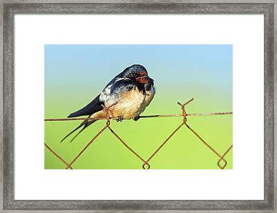 Bran Swallow On A Fence Framed Print by Bildagentur-online/mcphoto-schaef