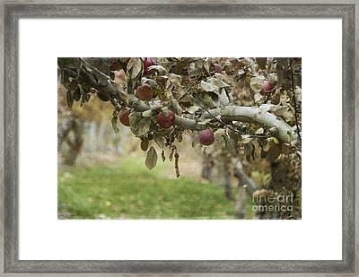Branch Of An Apple Tree Framed Print