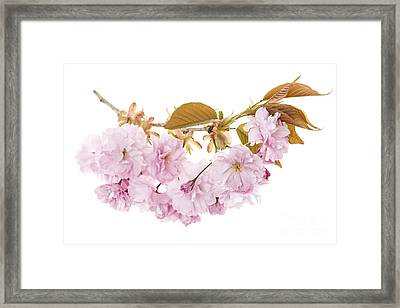 Branch With Cherry Blossoms Framed Print by Elena Elisseeva