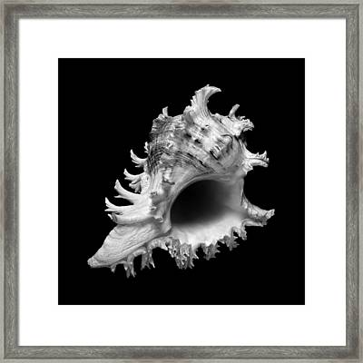 Branched Murex Sea Shell Framed Print
