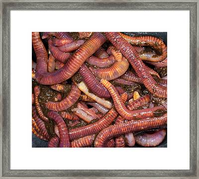 Brandling Worms Or Red Worms Framed Print