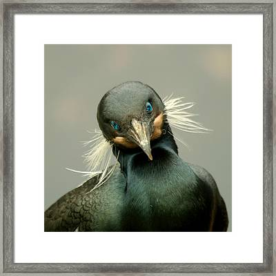 Framed Print featuring the photograph Brandt's Cormorant by Bob and Jan Shriner