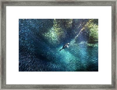 Brandt's Cormorant Fishing Framed Print by Christopher Swann