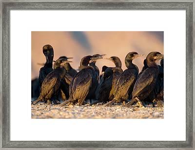Brandt's Cormorants Framed Print