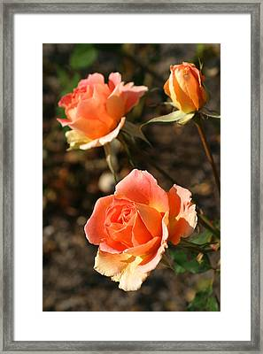 Brass Band Roses In Autumn Framed Print