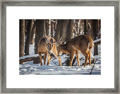 Brawling Bucks Framed Print by Chris Hurst