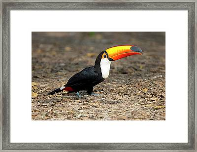 Brazil, Mato Grosso, The Pantanal, Toco Framed Print