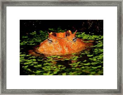 Brazilian Horn Frog, Ceratophrys Framed Print by David Northcott