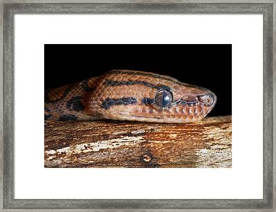 Framed Print featuring the photograph Brazilian Rainbow Boa Epicrates Cenchria by David Kenny