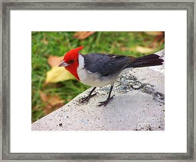 Brazilian Red Capped Cardinal Framed Print by Brigitte Emme