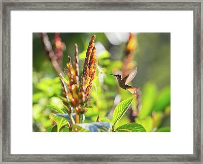 Brazilian Ruby Hummingbird, Clytolaema Framed Print by Alex Saberi