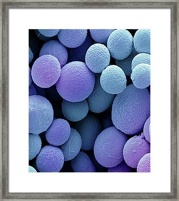 Bread Mould Conidia Framed Print