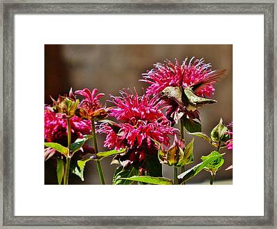 Framed Print featuring the photograph Breakfast At The Bee Balm by VLee Watson