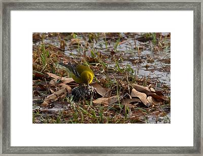Breakfast For A Pine Warbler Framed Print by Linda Unger