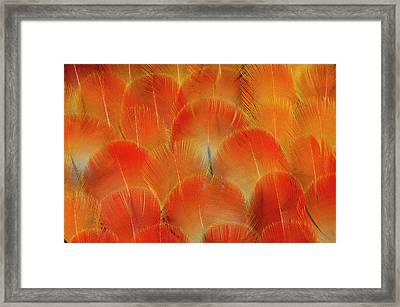 Breast Feathers Of The Camelot Macaw Framed Print by Darrell Gulin