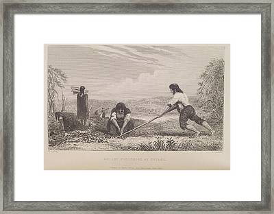 Breast Ploughing At Chiloe Framed Print