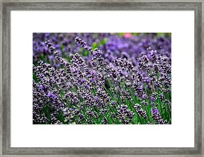 Breath Of Lavender Framed Print by CarolLMiller Photography