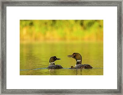 Breeding Pair Of Common Loons Framed Print
