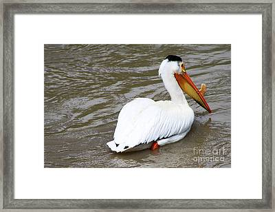 Framed Print featuring the photograph Breeding Plumage by Alyce Taylor