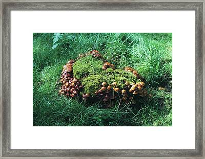 Brick Cap Mushrooms Framed Print by Dr Jeremy Burgess/science Photo Library