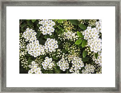 Bridal Wreath Flowers Framed Print