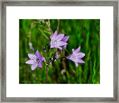 Framed Print featuring the photograph Bridges' Triteleia by Jim Thompson