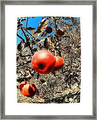 Bright Apples Framed Print by Garren Zanker