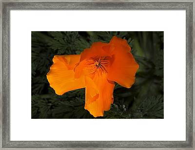 Bright California Poppy Framed Print