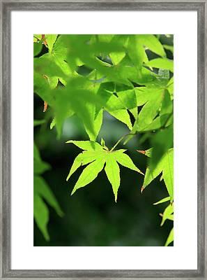 Bright Green Japanese Maple Trees Framed Print by Paul Dymond