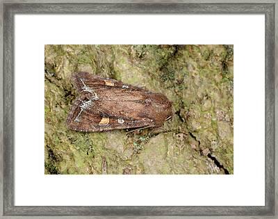 Bright-line Brown-eye Moth Framed Print by Nigel Downer