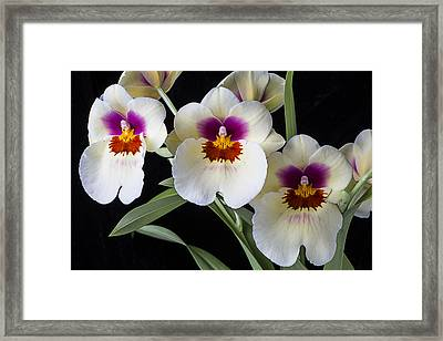 Bright Miltonia Orchids Framed Print by Garry Gay