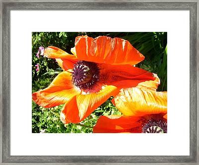 Bright Orange Poppy Framed Print
